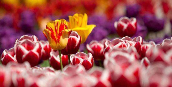 duferflower